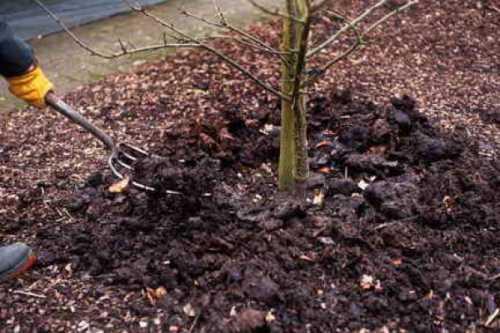 Как  посадить черешню осенью, преимущества