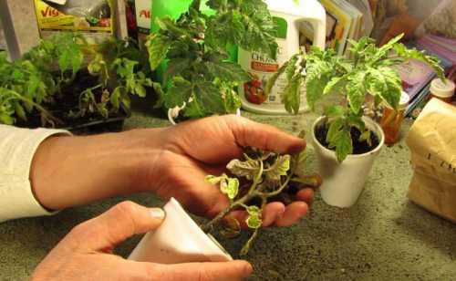 Китайский способ выращивания томатов: выращивание
