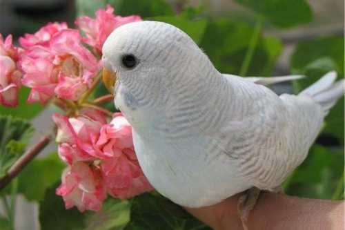 Имена для попугаев девочек