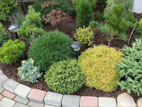 Выбор хвойных растений для сада