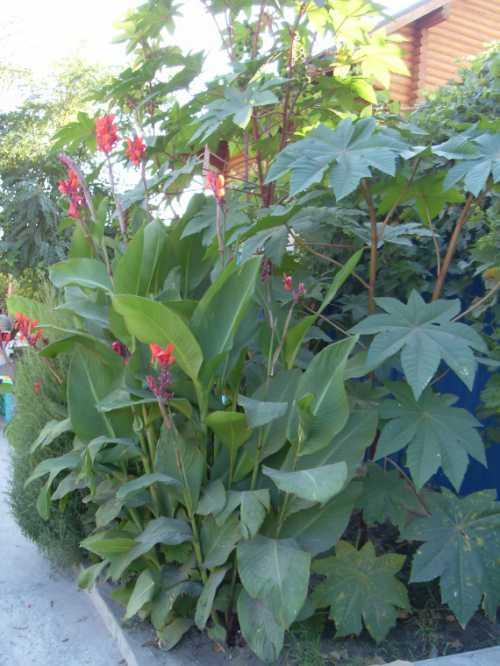 Посадка клещевины: выращивание, технология