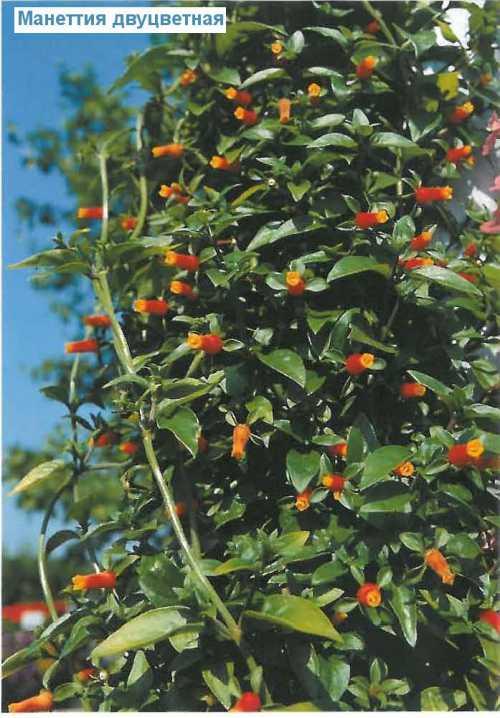 Фрукти ягоди для напою треба вдварити, процдити, мякоть пропустити через сито окремо