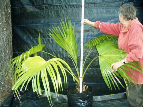 Как ухаживать за пальмами