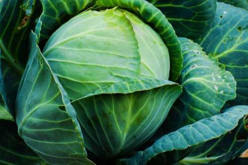 Особенности лучших сортов капусты для