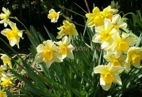 Нарциссы: посадка, выращивание, уход, фото,