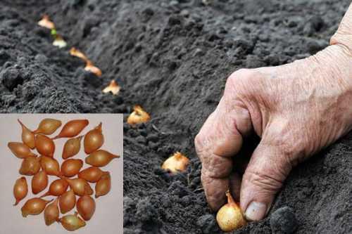 Как  посадить лук осенью, преимущества осенней